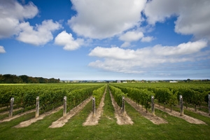 Cave Spring Winery - Vineyard with Blue Sky