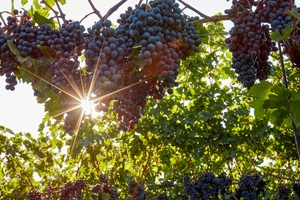 Cave Spring Winery - Grapes